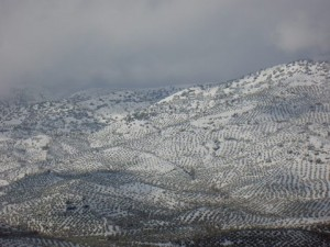 olivos nevados